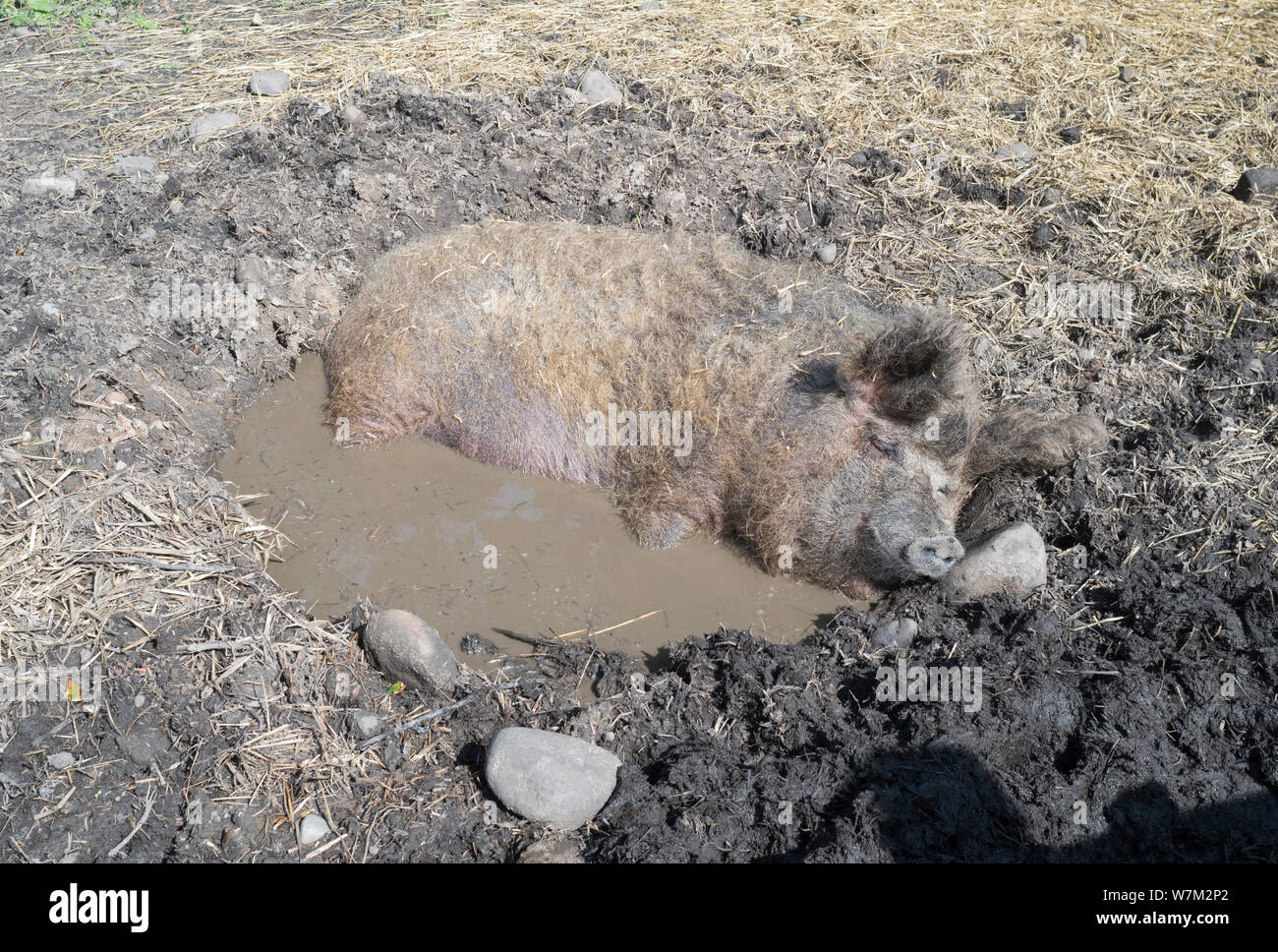 pig-wallowing-in-a-mud-bath-to-keep-cool-at-beamish-museum-co-durham-england-uk-W7M2P2.jpg