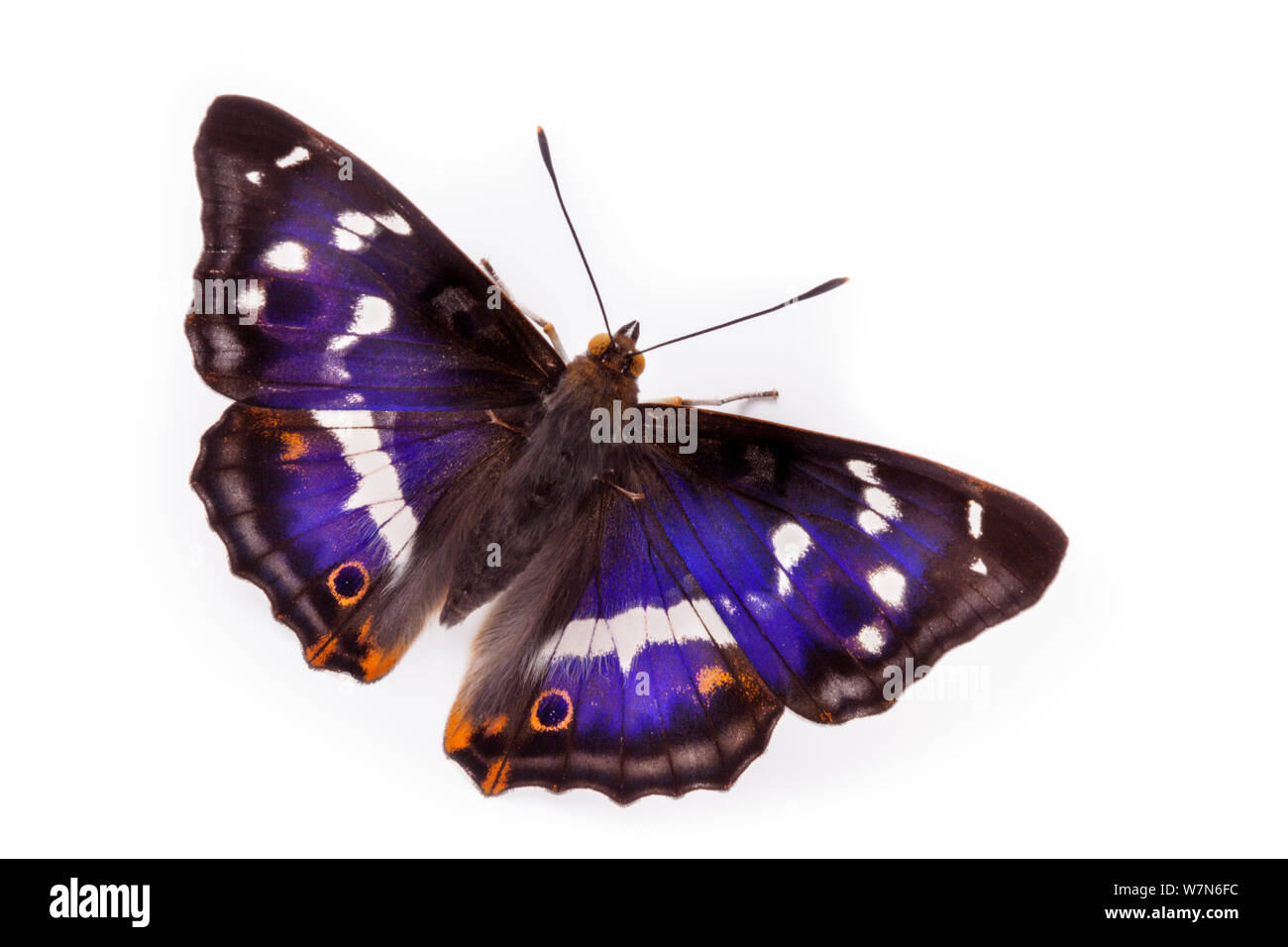 Purple Emperor Butterfly (Apatura iris) male with wings open, against white background. Captive, UK. Stock Photo