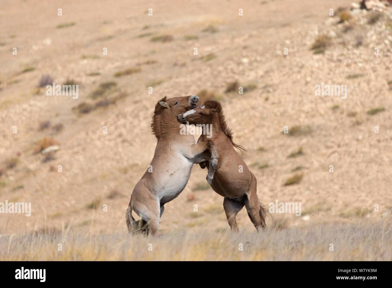 Two wild Przewalski / Takhi Horse (Equus ferus przewalskii) bachelor stallions play fighting, Hustai National Park, Tuv Province, Mongolia. Endangered species. September. Stock Photo