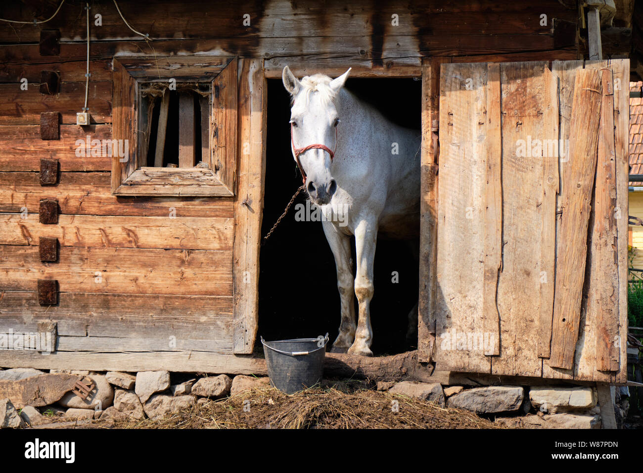 farm-white-horse-front-side-framed-in-old-rustic-stable-door-sticking-head-out-and-looking-W87PDN.jpg