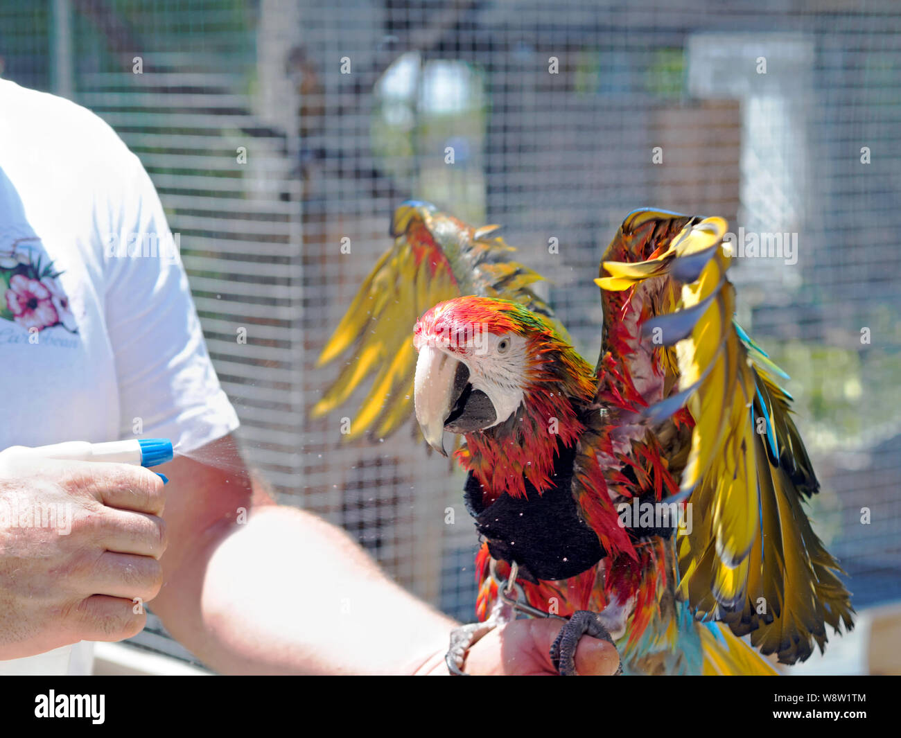Macaw in a vest is wet down with a spray bottle on a hot August day at the South Texas Botanical Gardens & Nature Center in Corpus Christi, Texas USA. Stock Photo