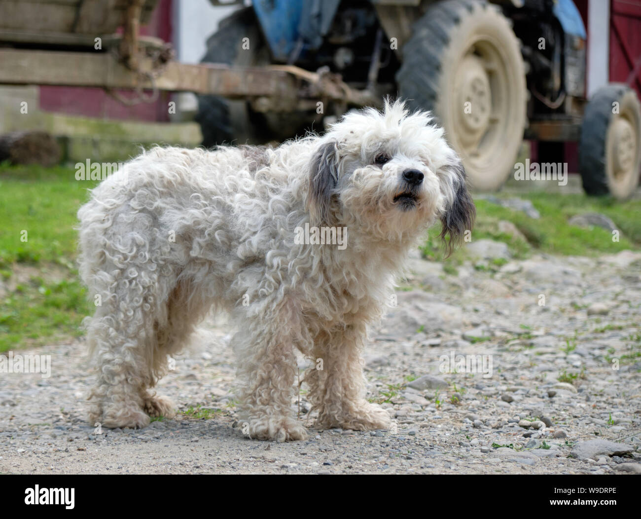 white-hair-fluffy-farm-dog-standing-guard-by-an-old-tractor-seen-in-background-W9DRPE.jpg
