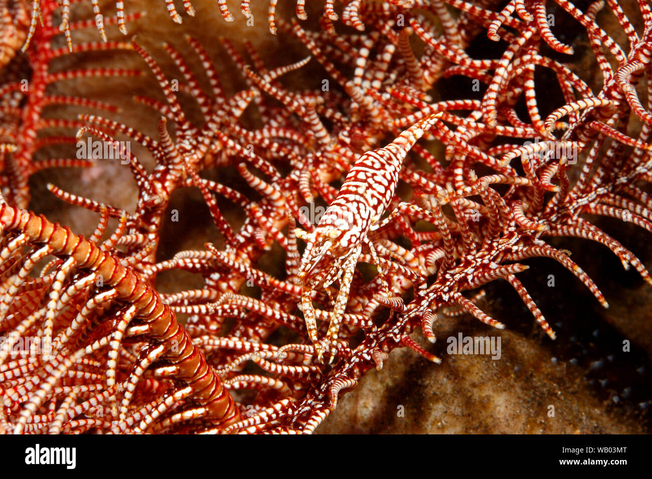 red-white-leopard-crinoid-shrimp-laomenes-pardus-tulamben-bali-indonesia-bali-sea-indian-ocean-WB03MT.jpg