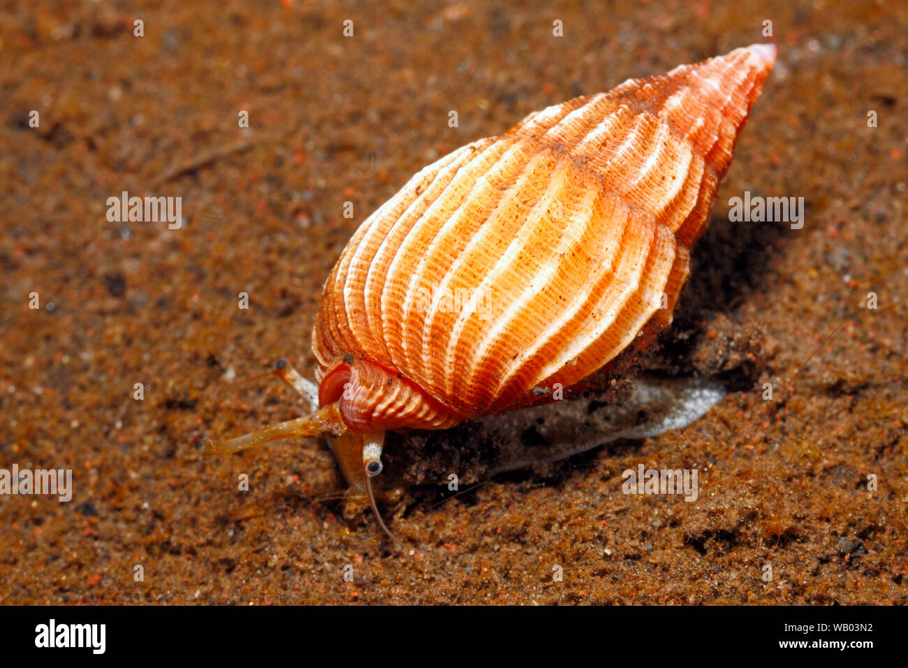 live-sea-snail-shell-phos-textus-crawling-on-sand-underwater-showing-foot-syphon-and-eye-tulamben-bali-indonesia-bali-sea-indian-ocean-WB03N2.jpg