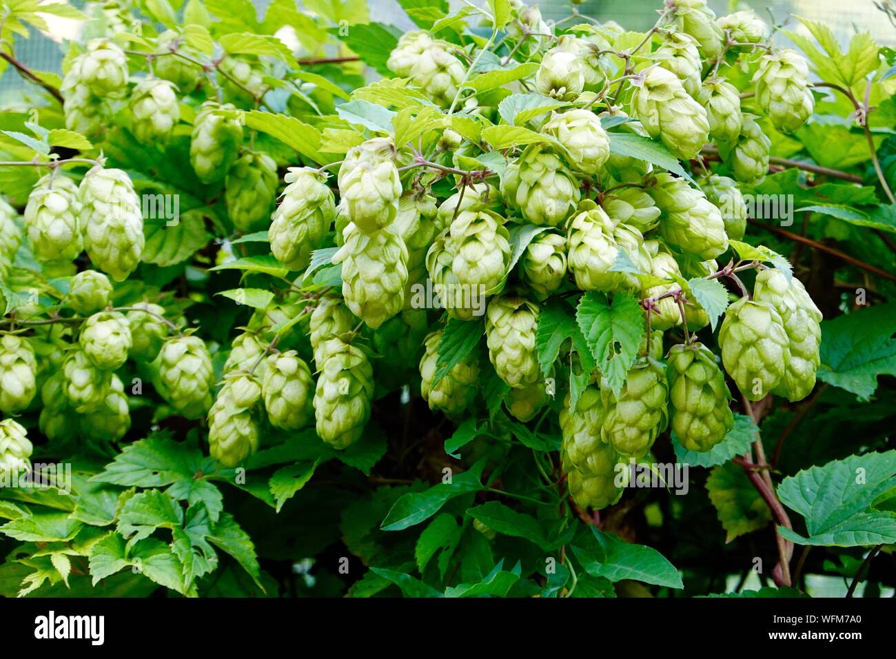 humulus-lupulus-hops-growing-in-the-kitc