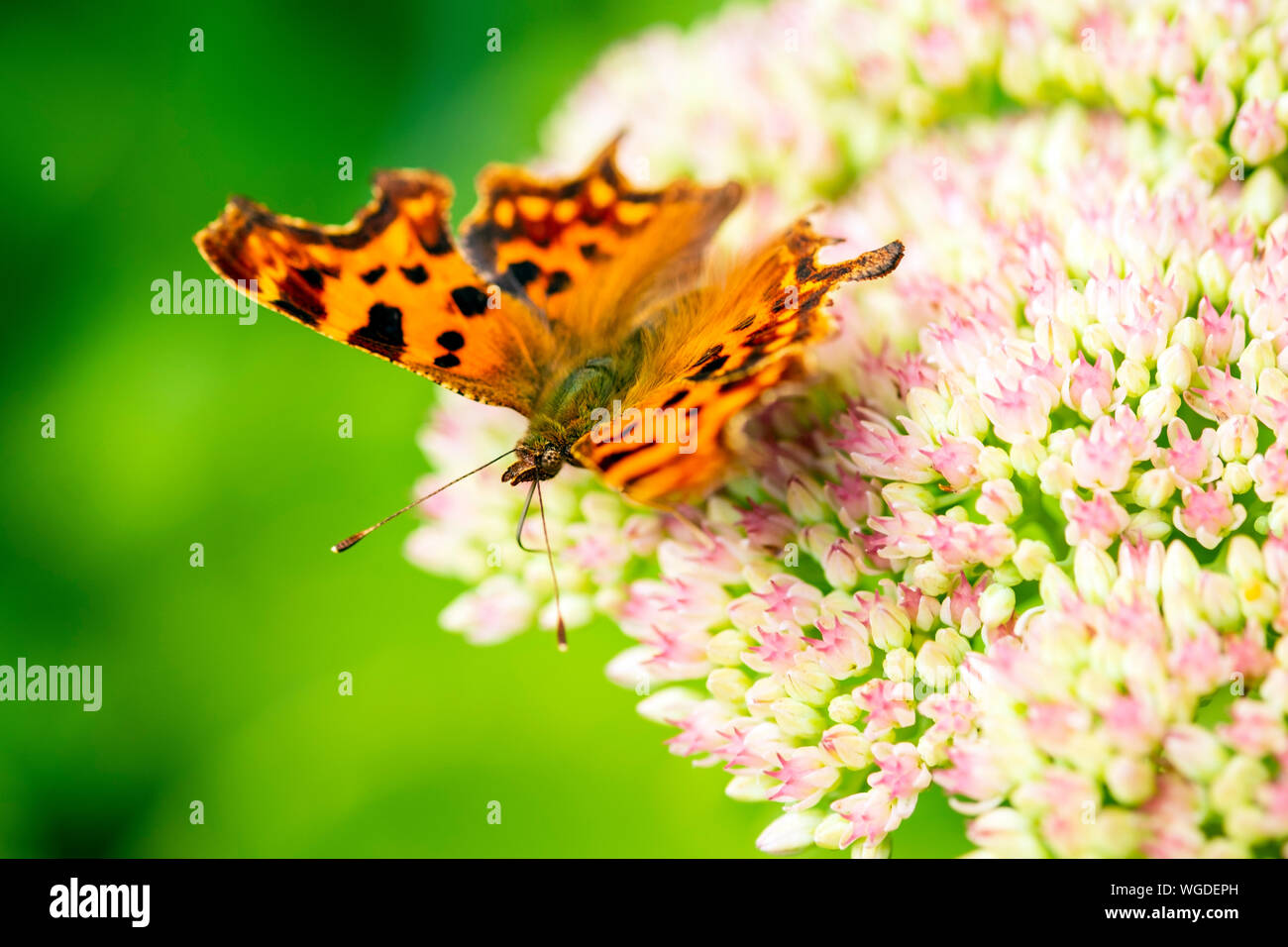 comma-butterfly-uk-feeding-on-a-sedum-flower-polygonia-c-album-with-its-tongue-probing-flowers-WGDEPH.jpg