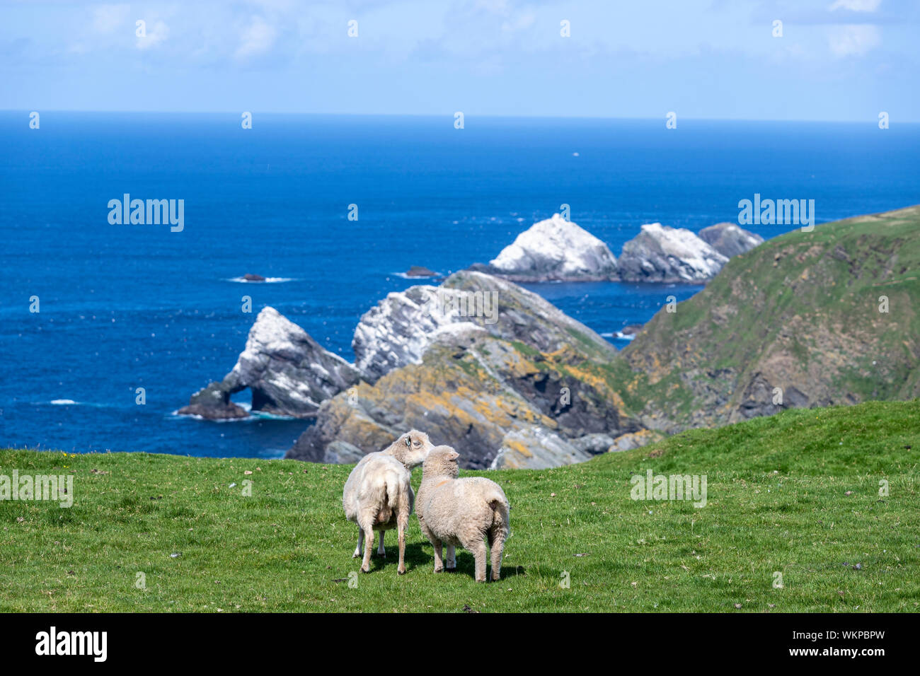 sheep-with-rocky-islands-in-unst-hermane