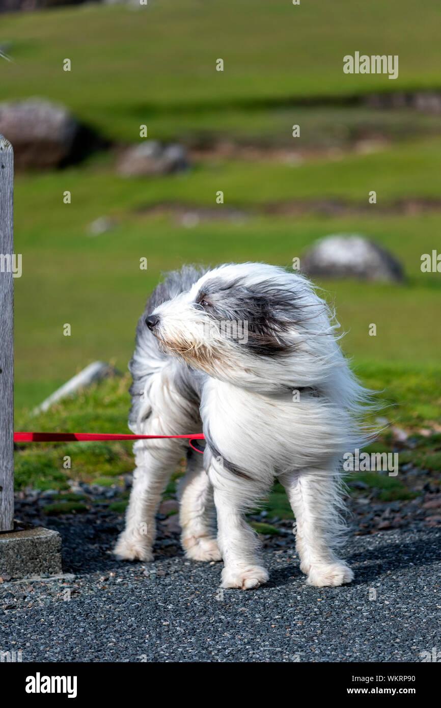 Old English Sheepdog with his hear blowing due to strong wind, Northmavine peninsula, Mainland, Shetland, Scotland, UK Stock Photo