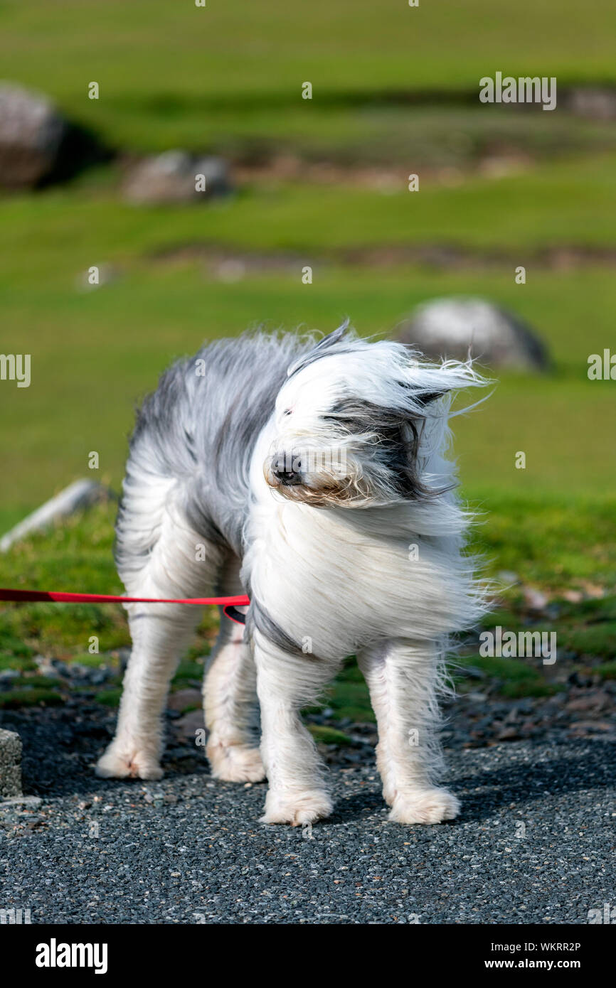 old-english-sheepdog-with-his-hear-blowi