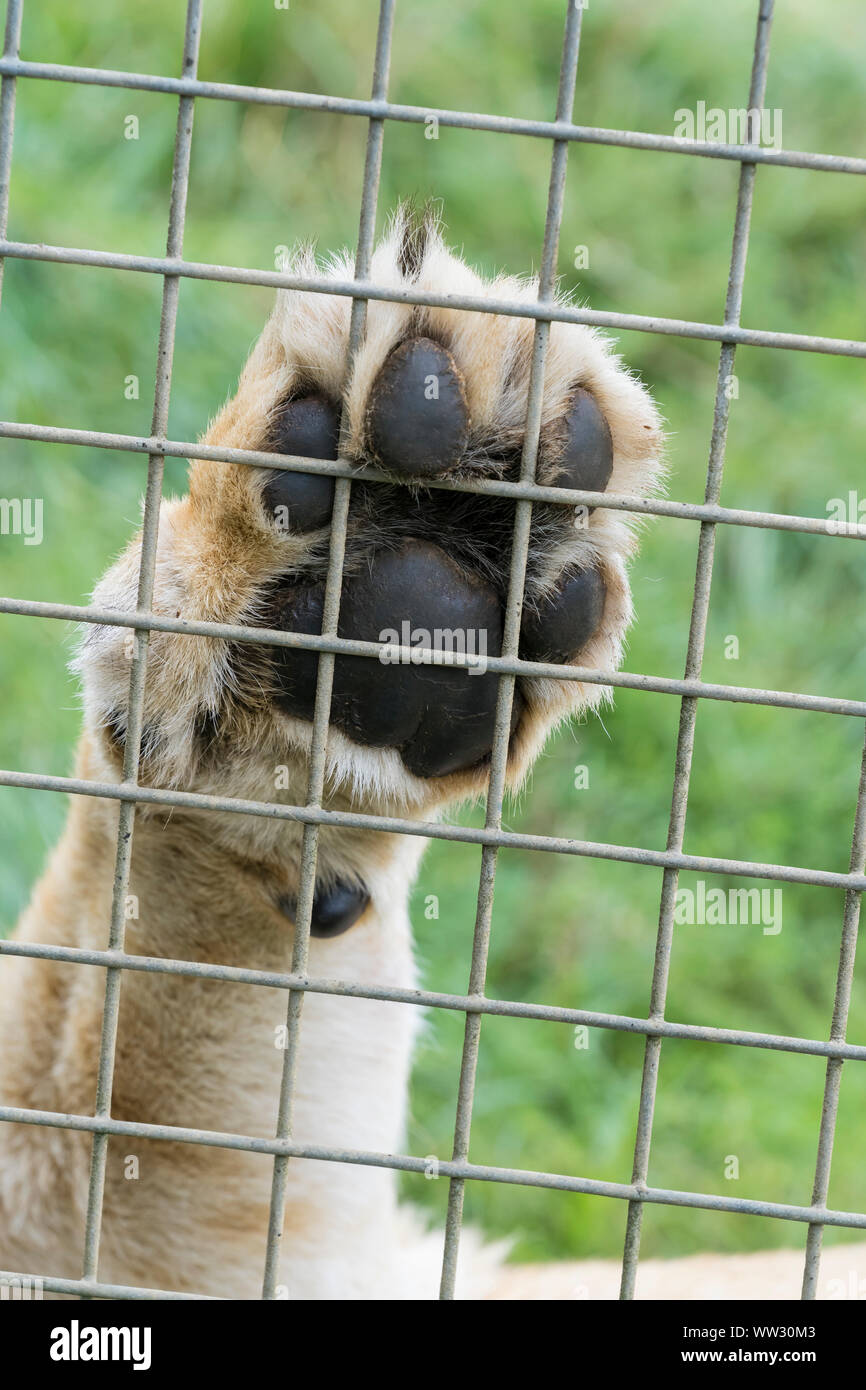 African lioness paw on wire enclosure Linton Zoo Conservation Park Cambridgeshire 2019 Stock Photo