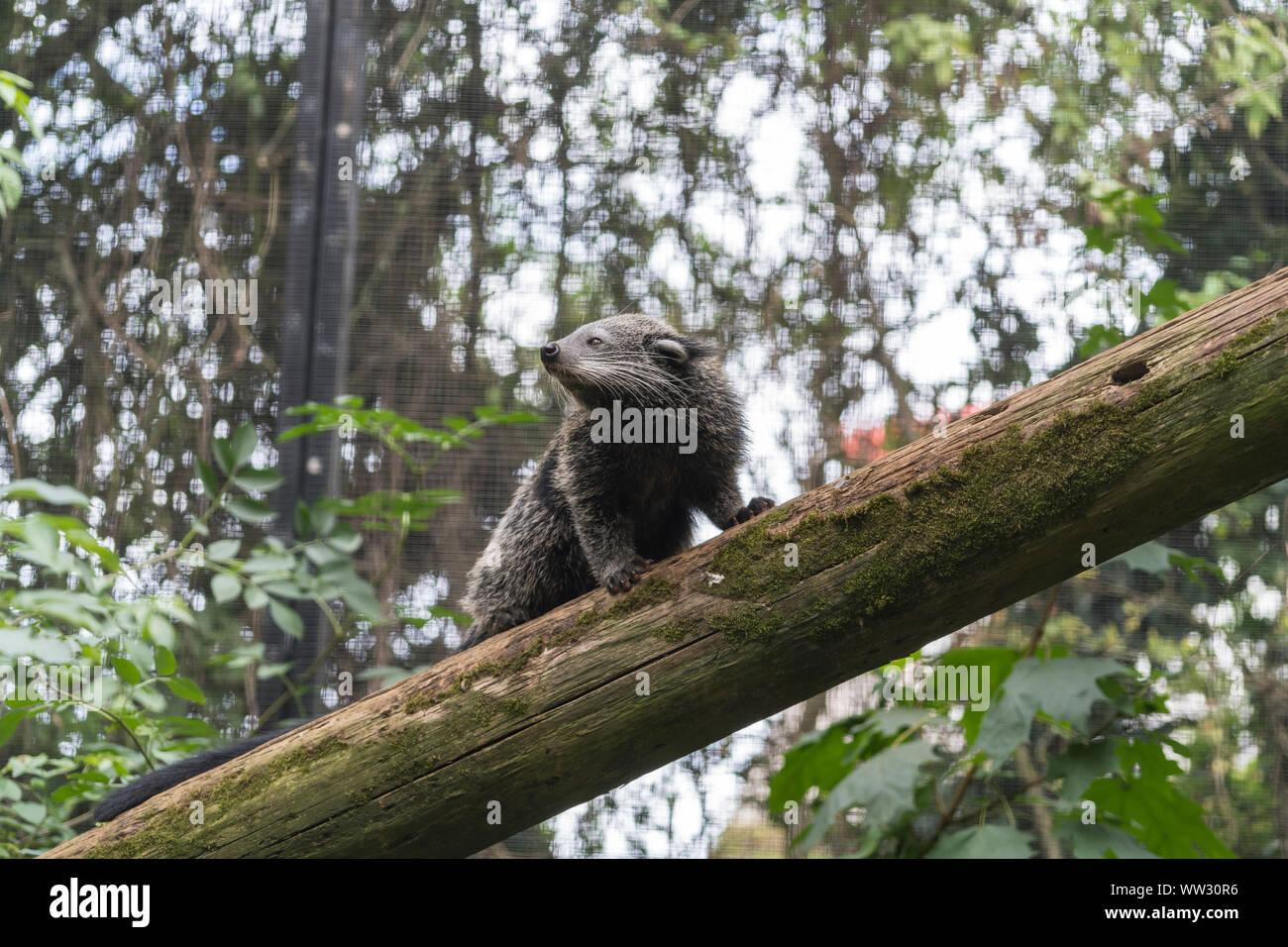 binturong-linton-zoo-conservation-park-cambridgeshire-2019-WW30R6.jpg
