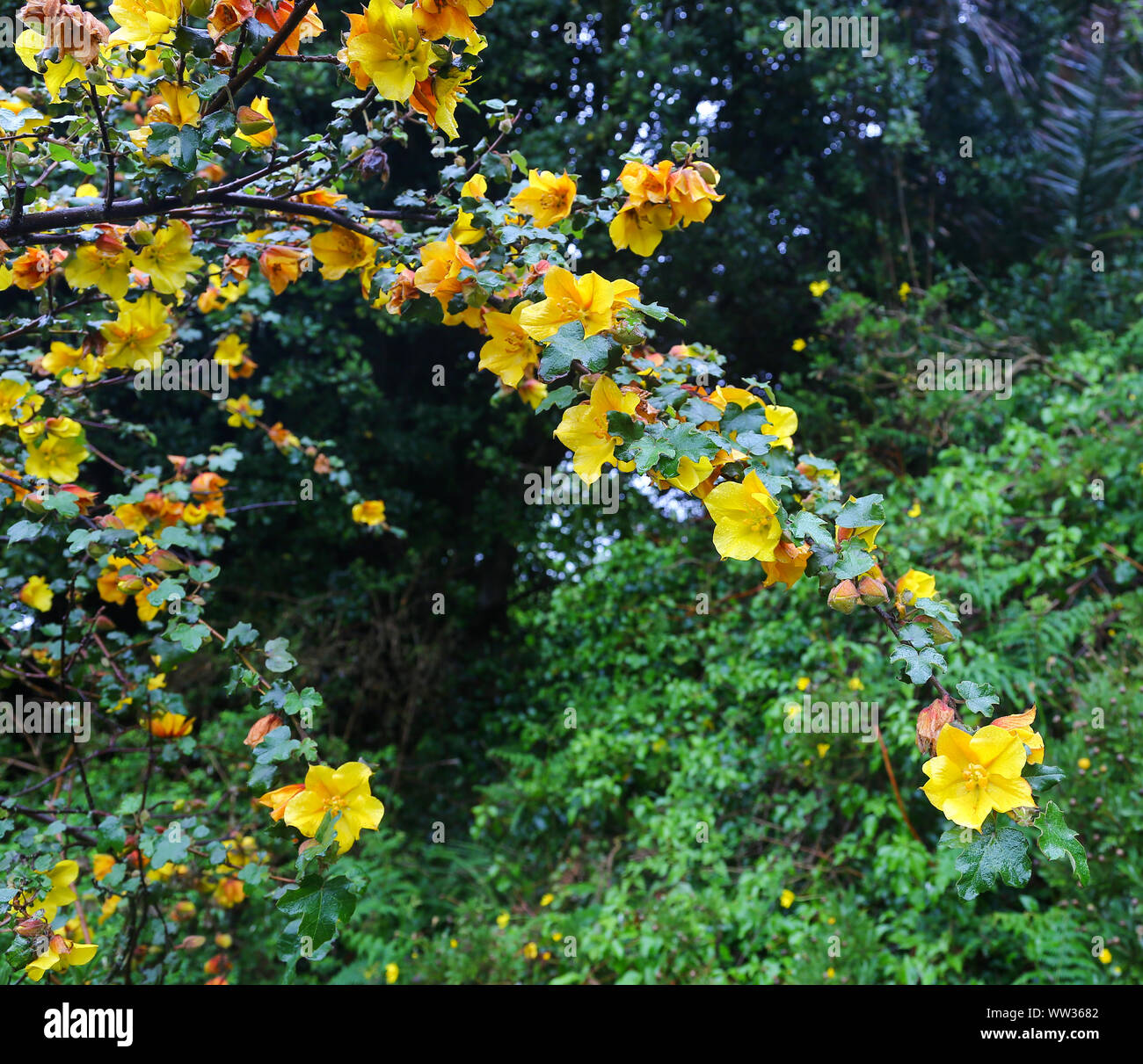 The yellow flowers of an unknown plant on St Mary's Island, Isles of Scilly, England, UK Stock Photo