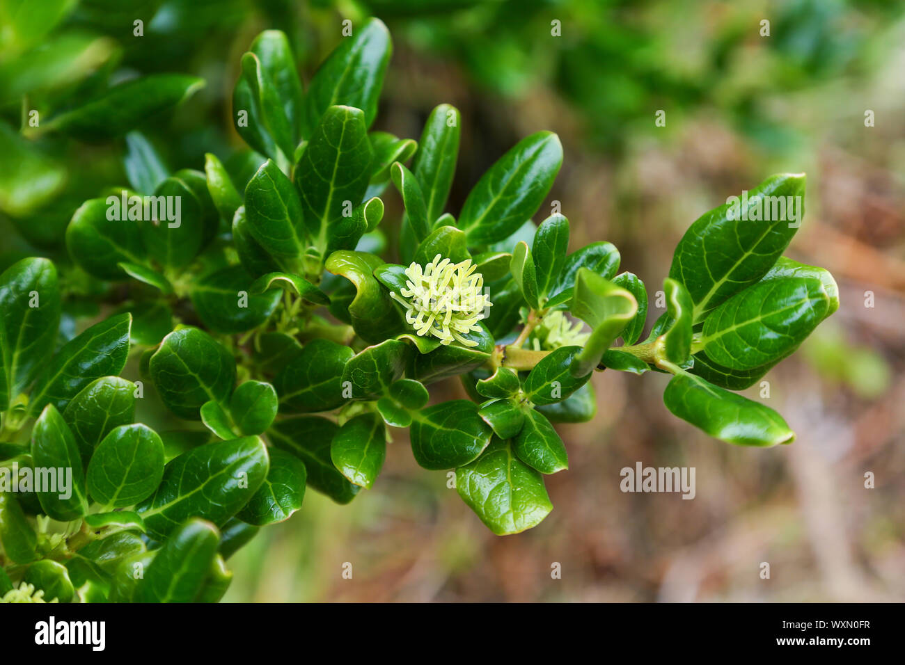 an-unknow-plant-growing-on-st-agnes-island-isles-of-scilly-cornwall-england-uk-WXN0FR.jpg