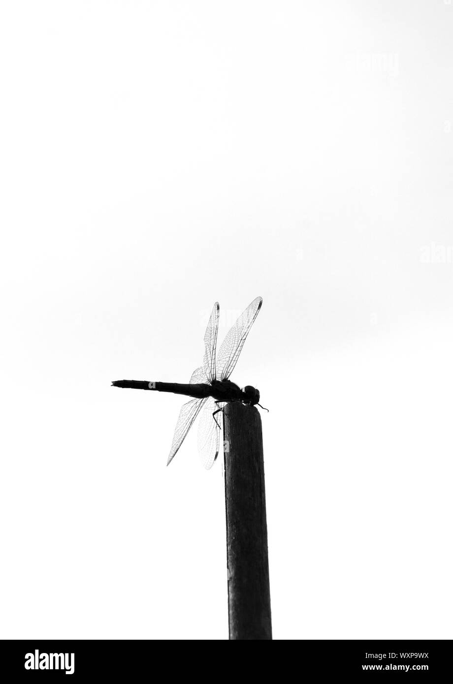 Black and white image of dragon fly on garden cane Stock Photo