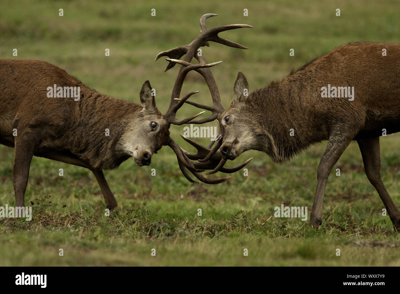Two Red Deer stags fight during the rut in the Peak District National Park, UK. Stock Photo