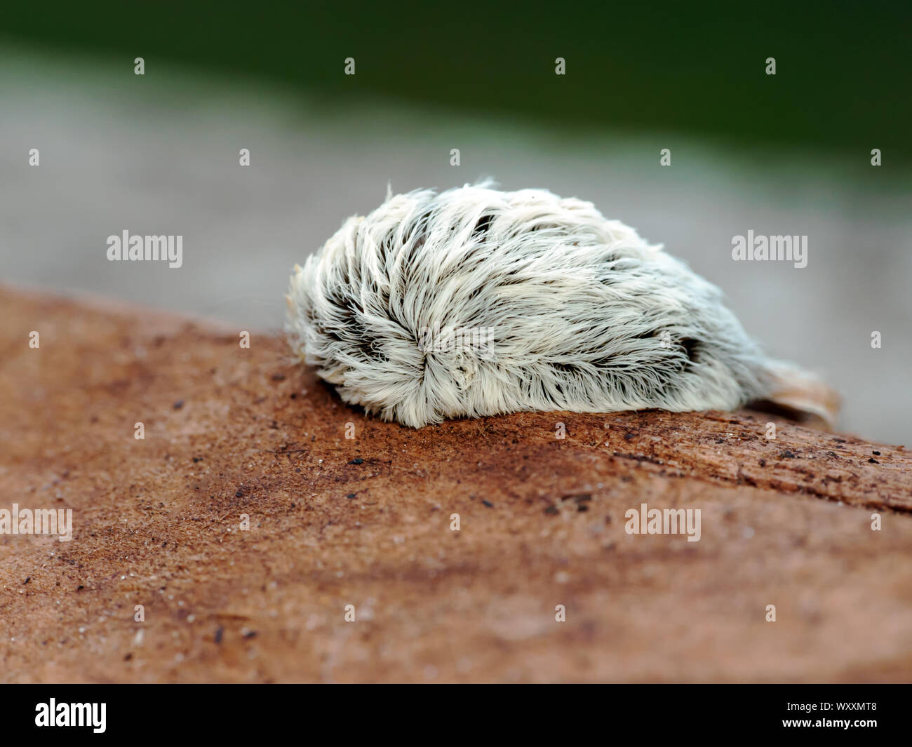 macro-shot-of-a-megalopyge-opercularis-caterpillar-the-venomous-larval-form-of-the-southern-flannel-moth-WXXMT8.jpg