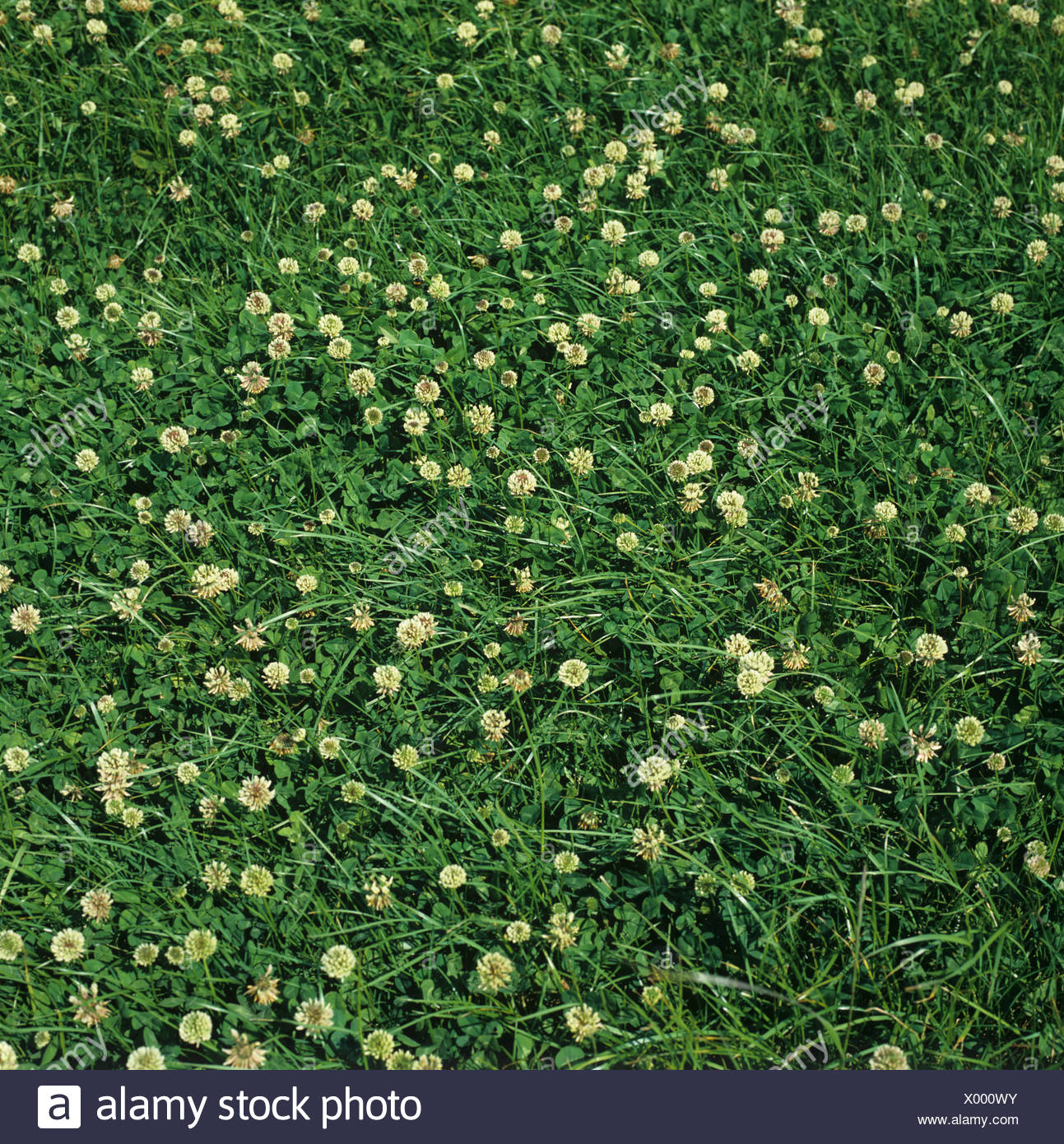 White Clover Flowering In A Grass Ley Clover Mixture Stock Photo