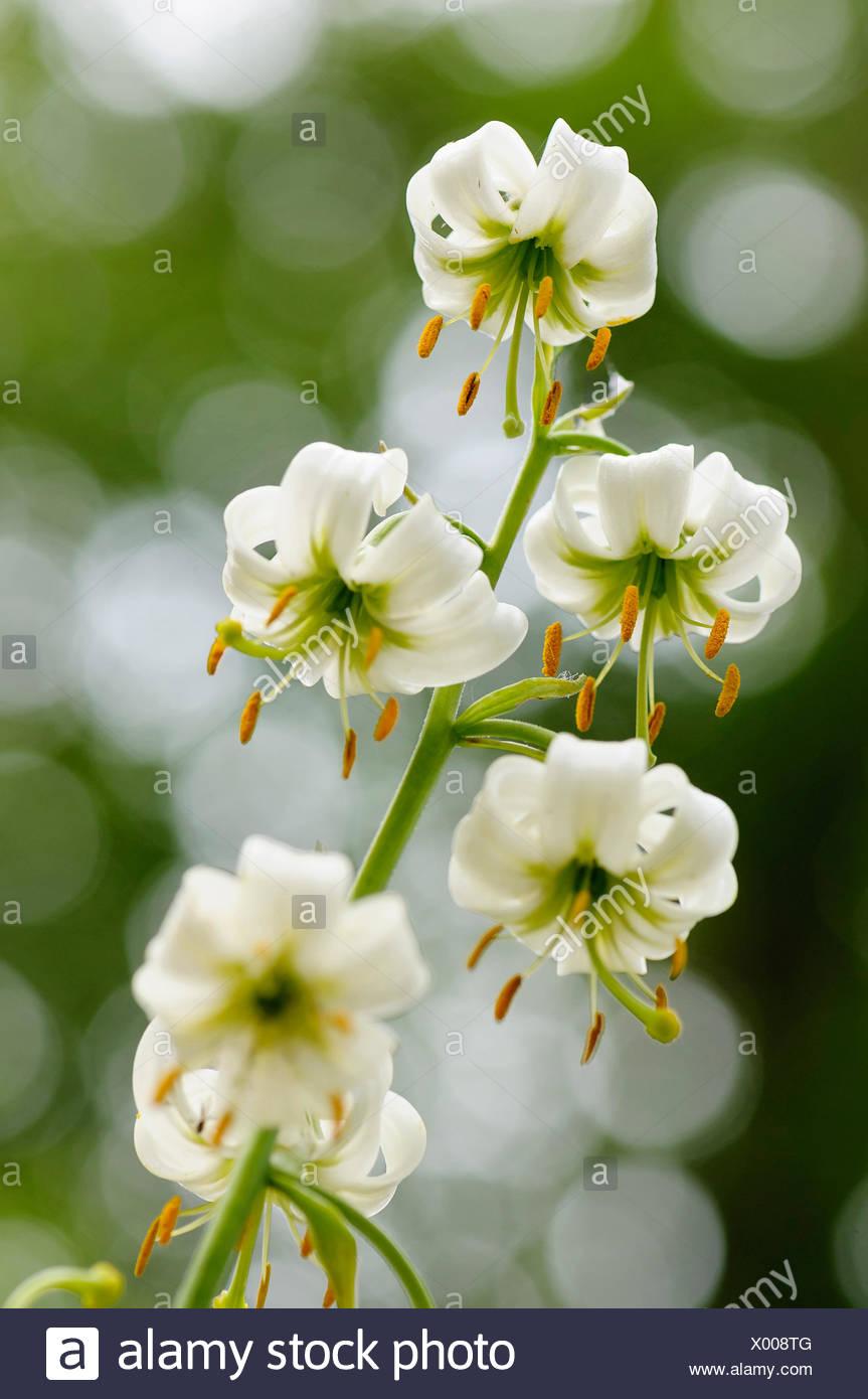 Lily Martagon Lily Lilium Lilium Hansonii Beauty In Nature Bulb