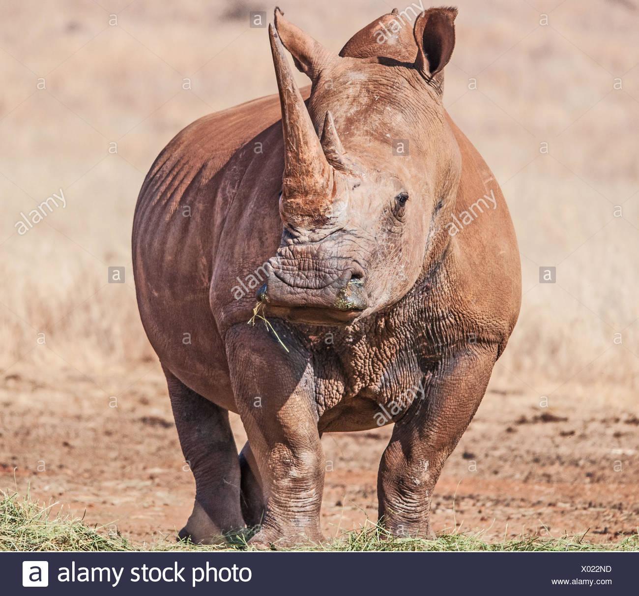 White Rhinoceros, South Africa - Stock Image