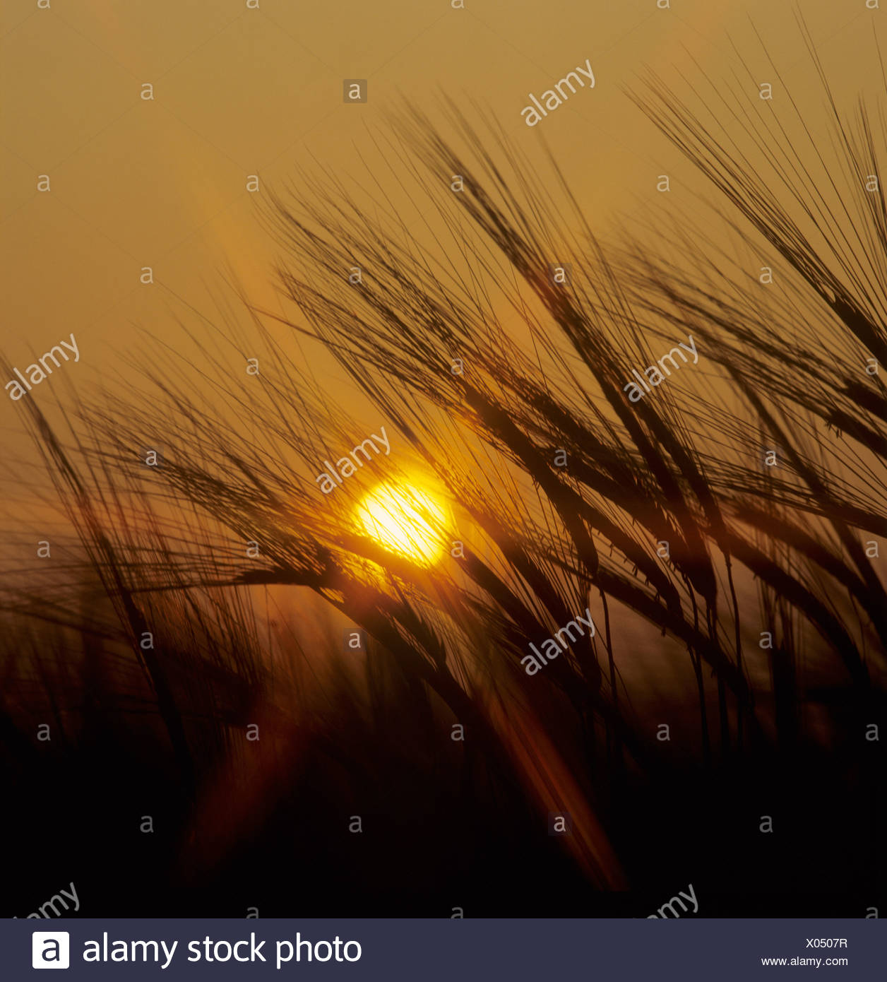 Flowering ears of unripe barley silouetted against a setting sun - Stock Image