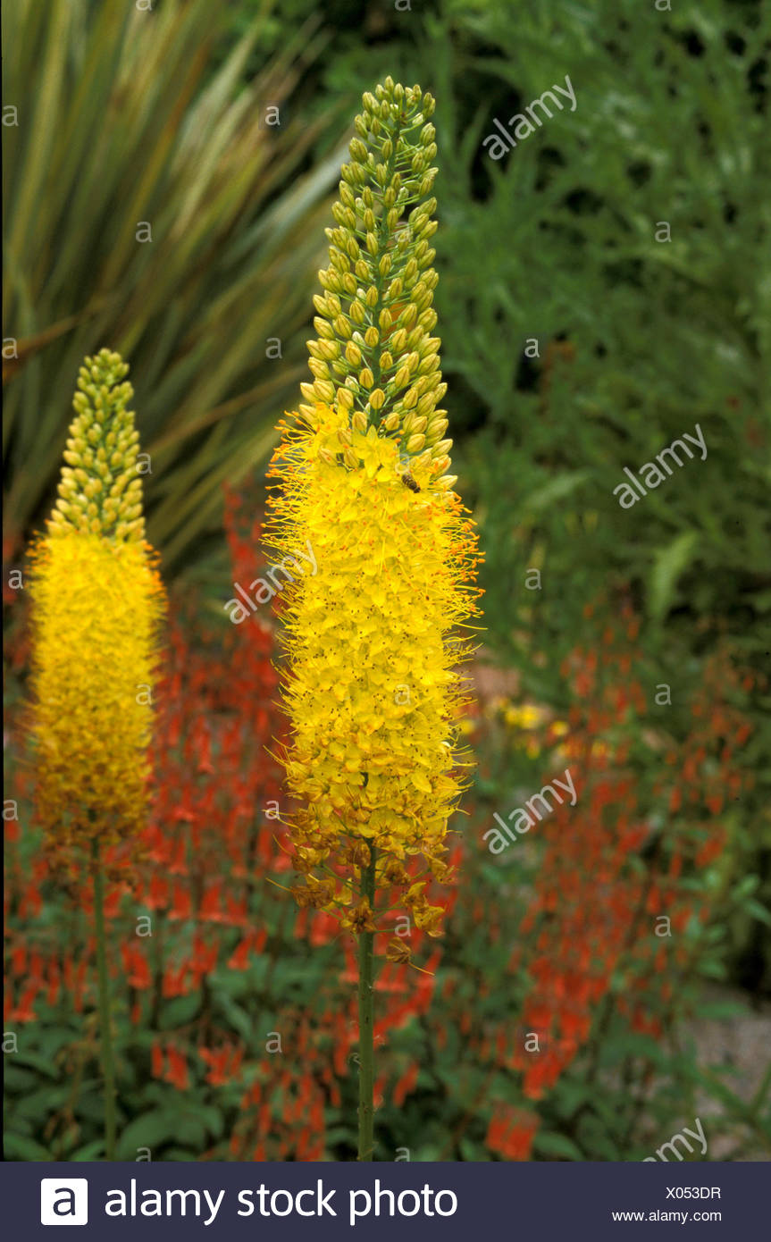 Eremurus Stenophyllus Foxtail Lily Close Up Of Flower Spikes Stock