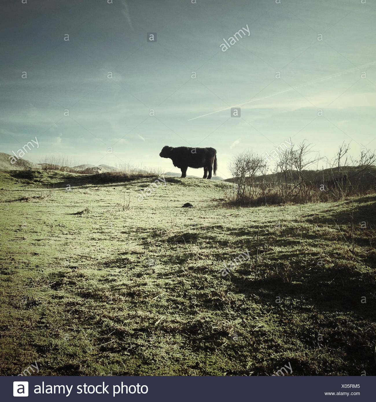 Side view of cow on pasture - Stock Image