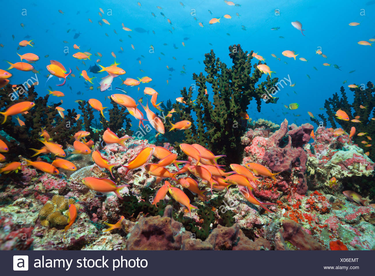 Flame Anthias in Coral Reef, Pseudanthias ignitus, Baa Atoll, Indian Ocean, Maldives - Stock Image