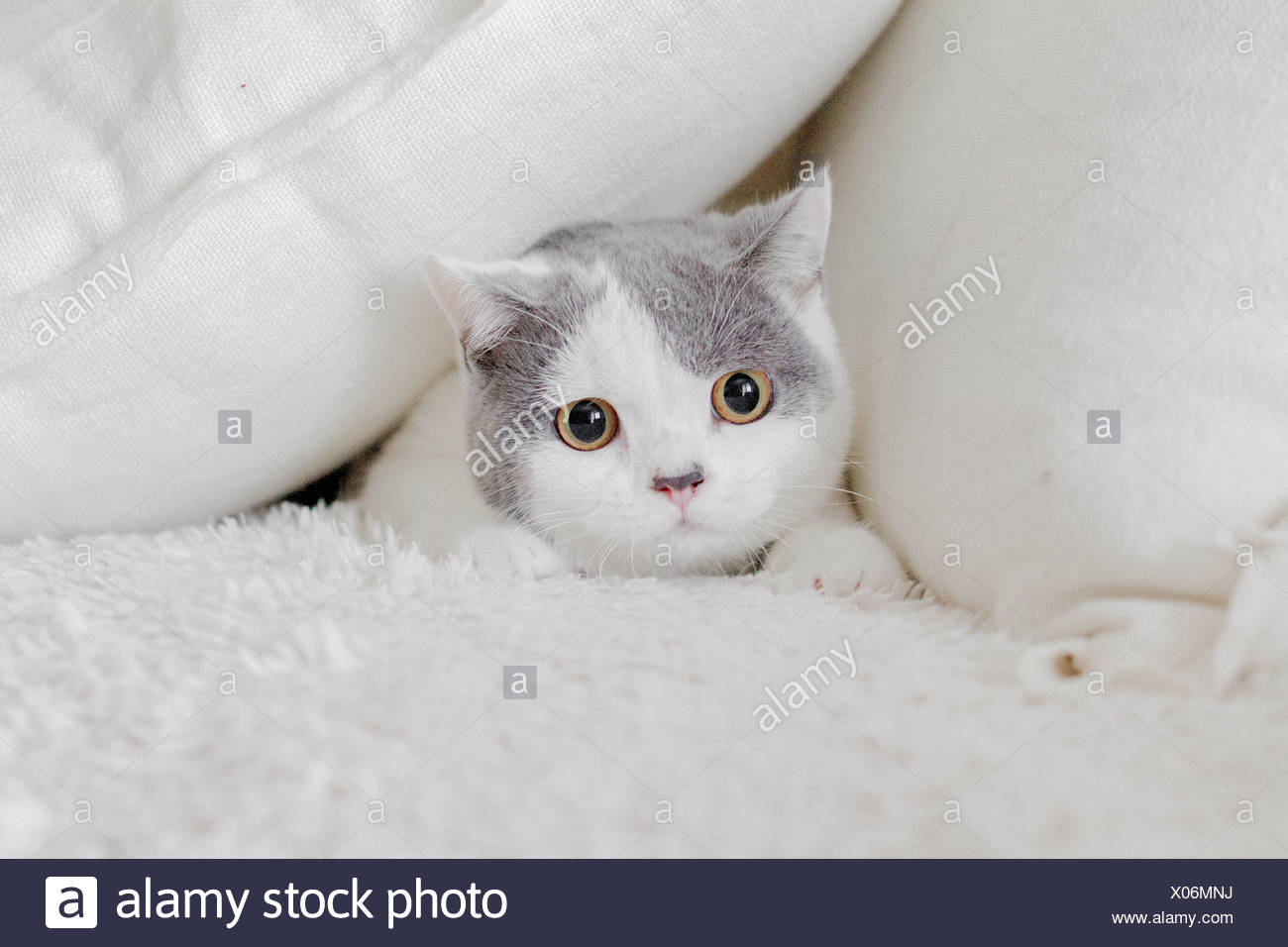 Cat hiding in pillows - Stock Image