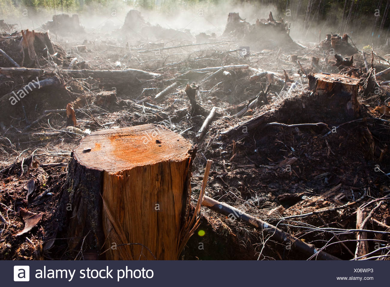 Moisture in the newly exposed soil rises as steam from a recent clearcut on the Olympic Peninsula, Washington. - Stock Image
