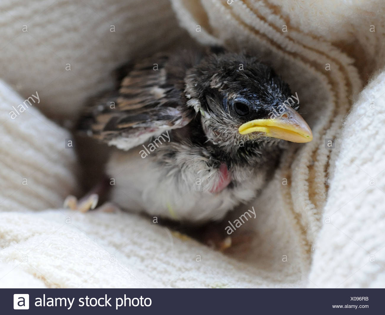 A small nestling, a baby sparrow a few weeks old - Stock Image
