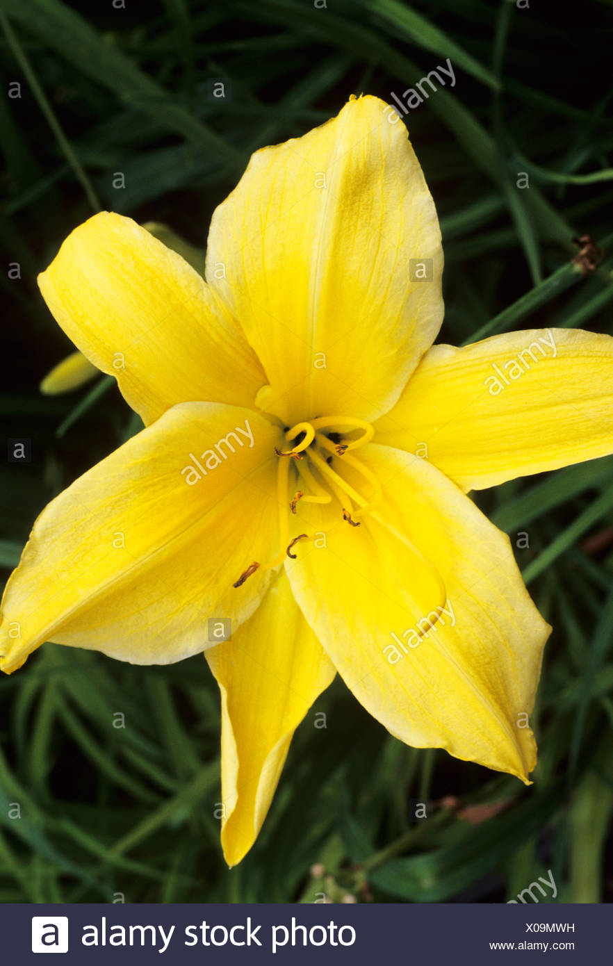 Hemerocallis big bird day lily lilies yellow flower flowers garden hemerocallis big bird day lily lilies yellow flower flowers garden plant plants izmirmasajfo Images
