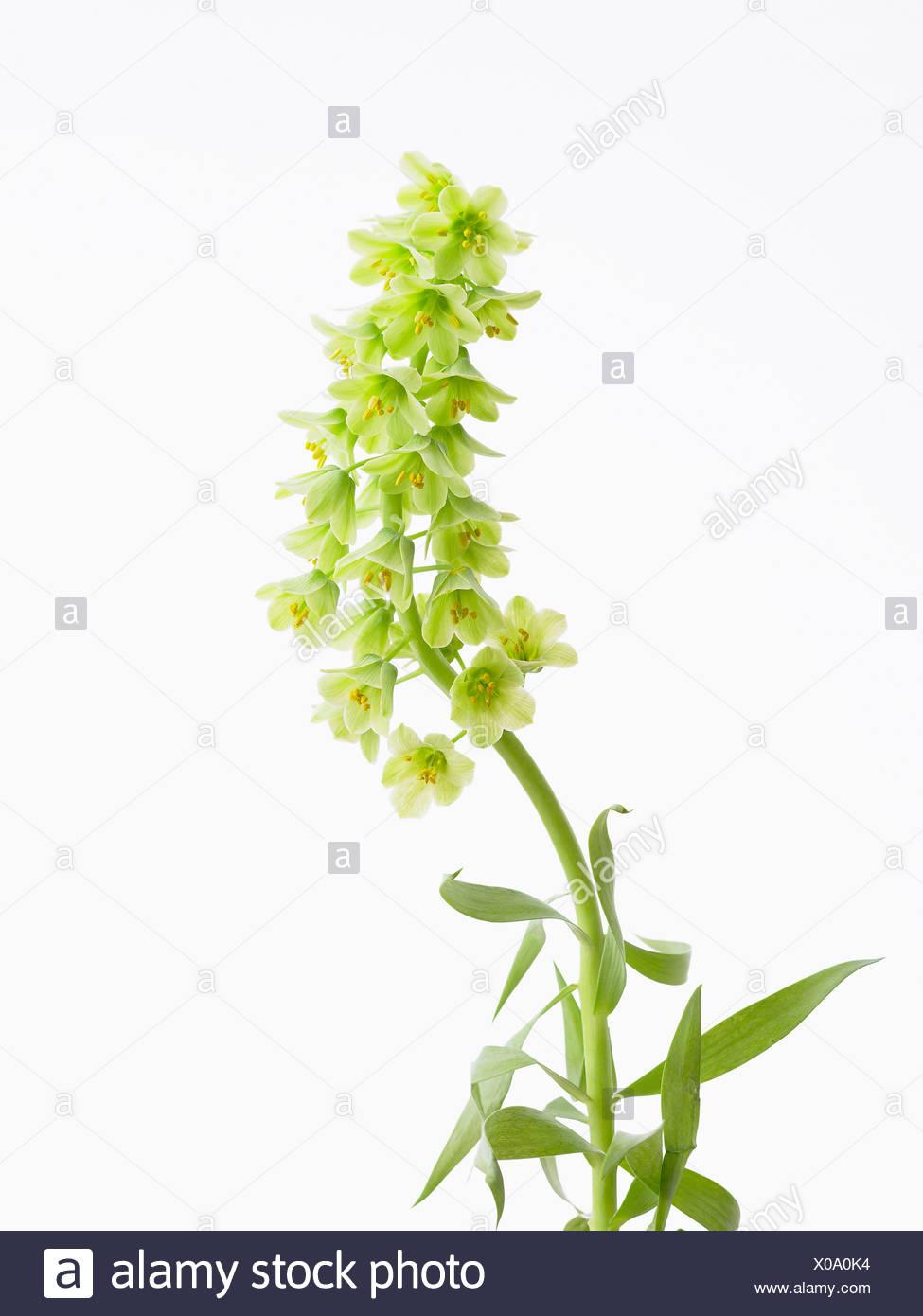 Fritillaria Persica Ivory Bells Fritillary Flowering Single Stem