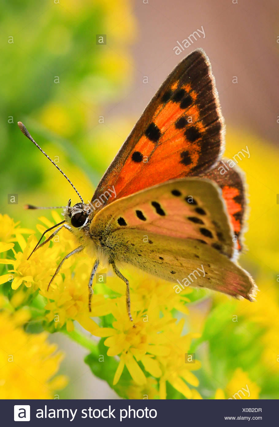 small copper (Lycaena phlaeas, Chrysophanus phlaeas), sucking nectar on yellow blossoms, Germany - Stock Image