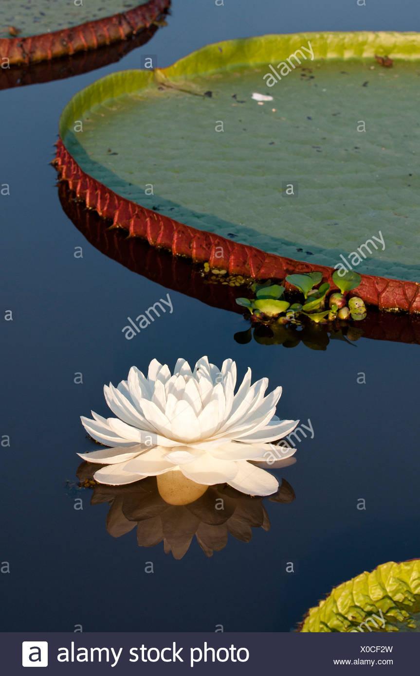 Giant Water Lilies (Victoria amazonica). Lake near Cuiaba River, Northern Pantanal, Brazil. - Stock Image