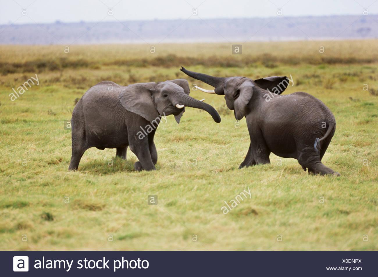 African elephants sparring, Amboseli National Park, Kenya - Stock Image