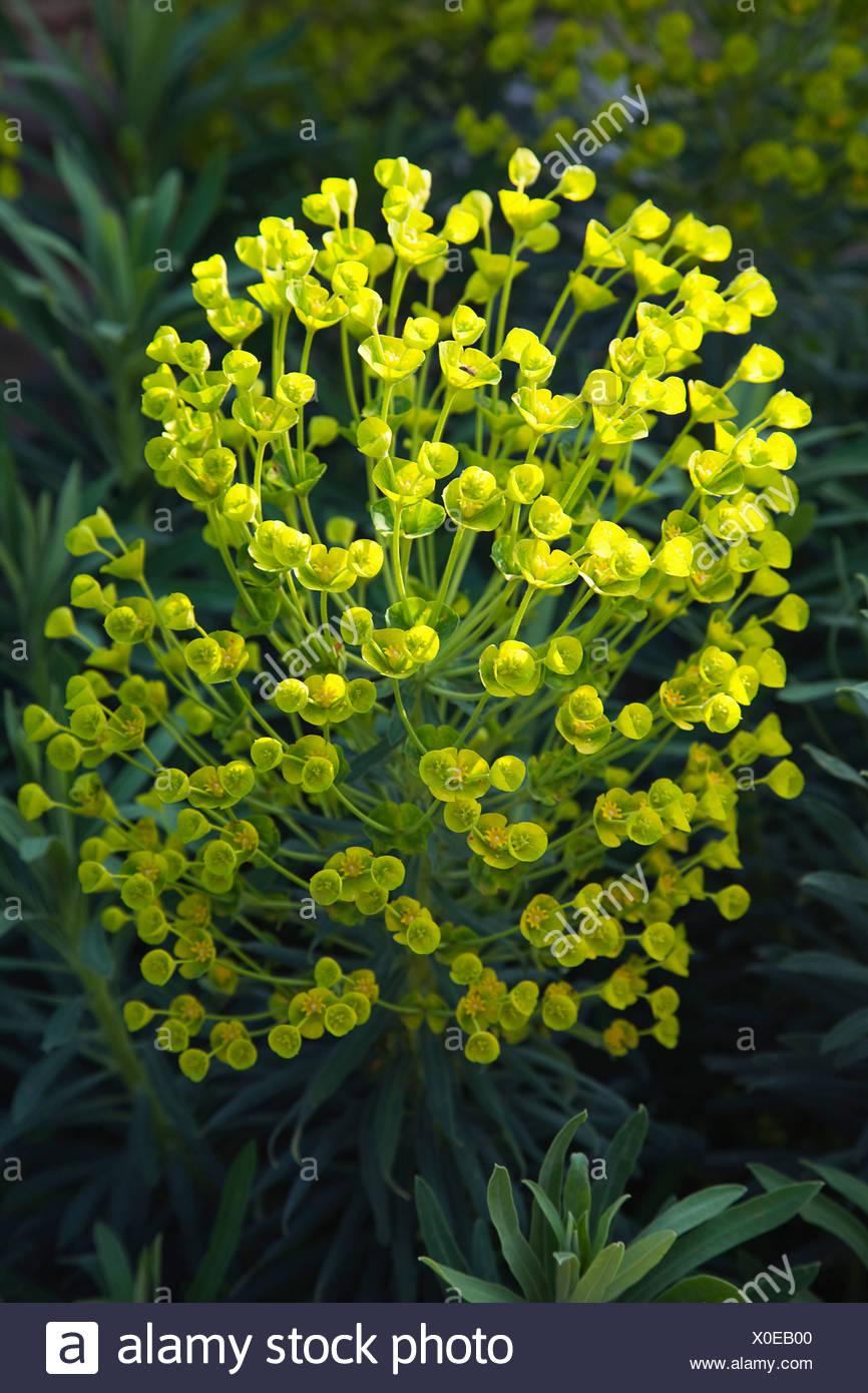 Spurge Euphorbia Characias Wulfenii Shrub With Clustered Leaves And