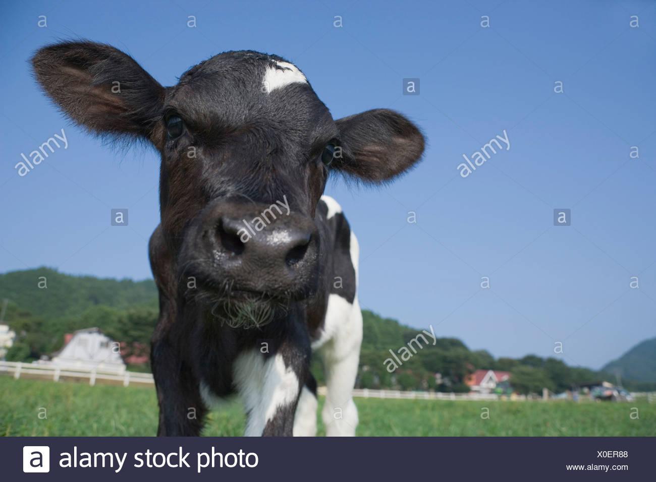 One calf standing - Stock Image