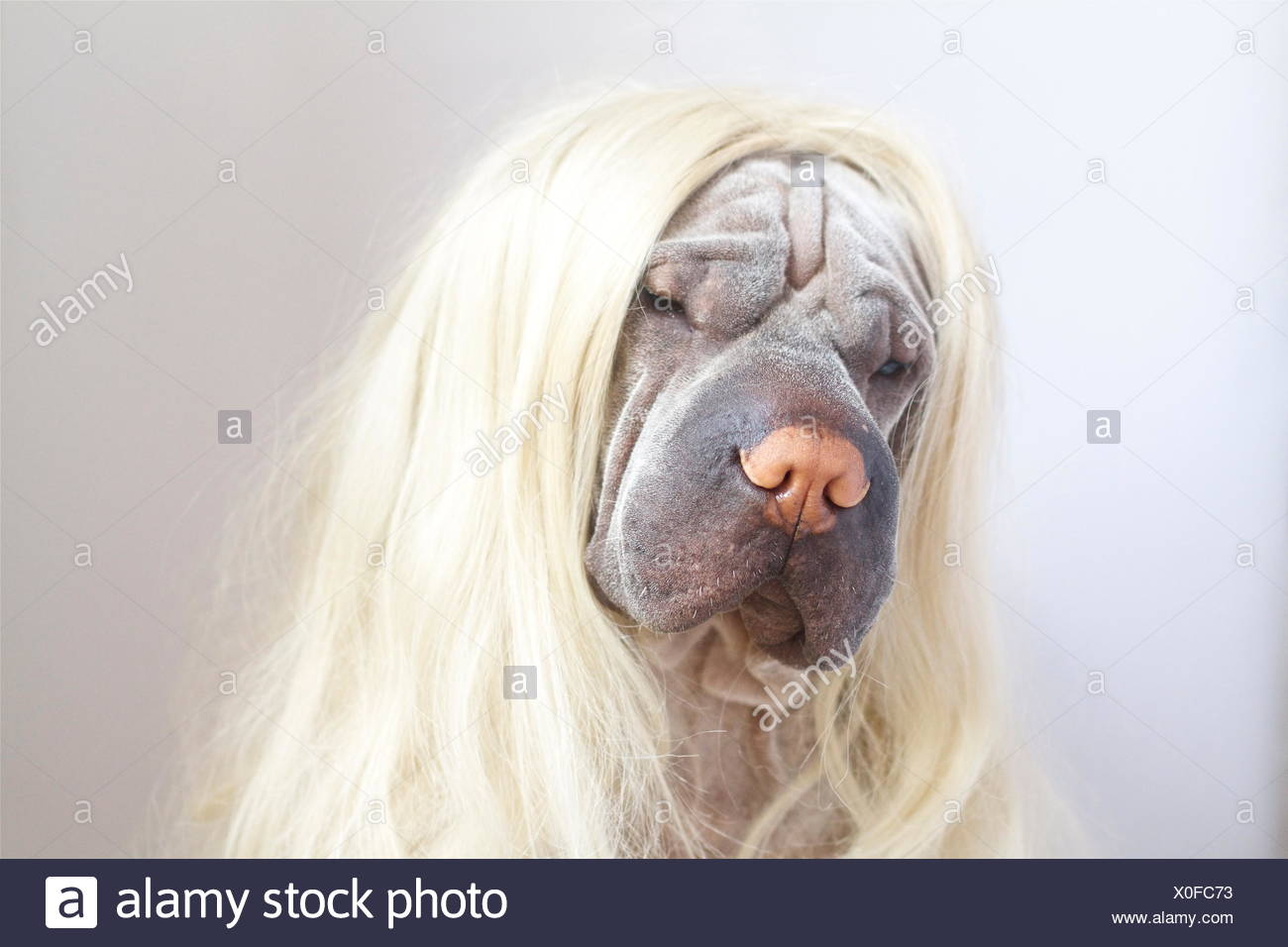 Portrait of a Shar pei dog wearing long blonde wig - Stock Image