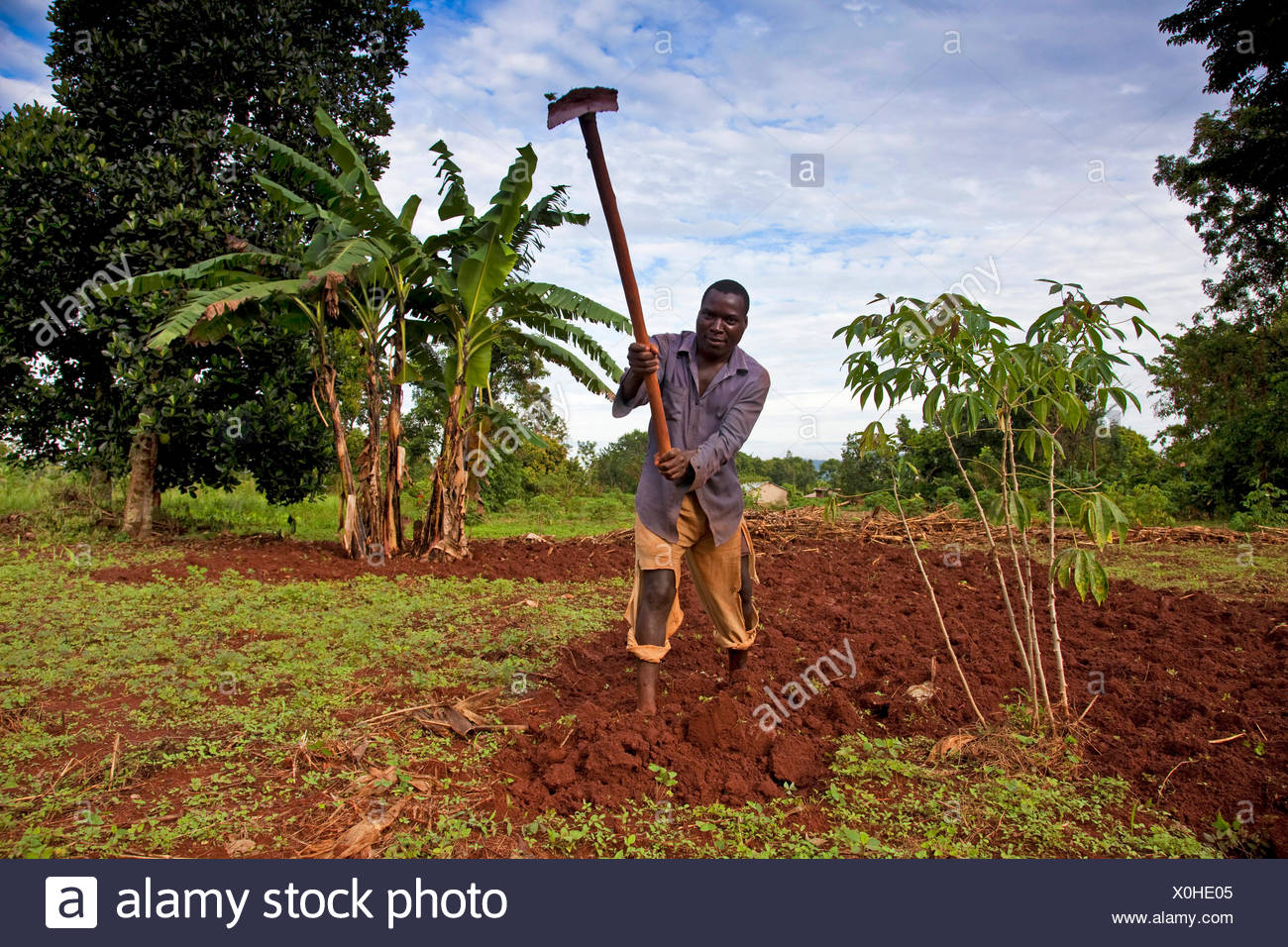 farmer is working on his fertile field with a hatchet, coffee plant in the left hand foreground, banana plant in the right hand background, Uganda, Jinja - Stock Image