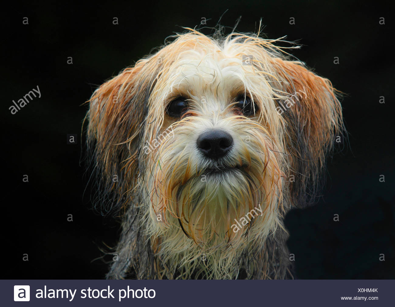 mixed breed dog (Canis lupus f. familiaris), five months old male Maltese Chihuahua mixed breed dog, portrait with black background, Germany - Stock Image