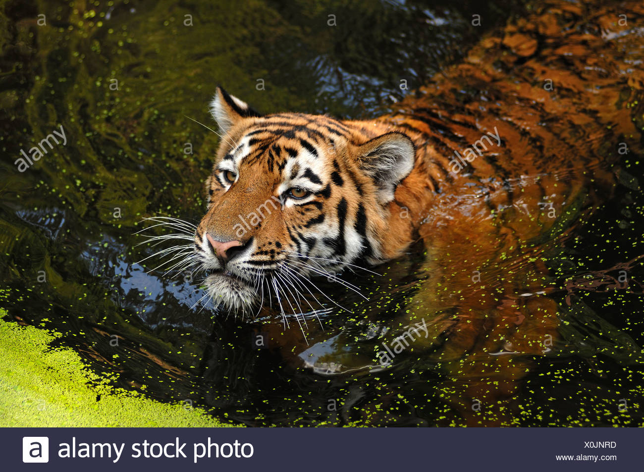 Siberian Tiger (Panthera tigris altaica), swimming in a moat, Tiergarten Nuernberg, Nuremburg Zoo, Nuremburg, Middle Franconia - Stock Image
