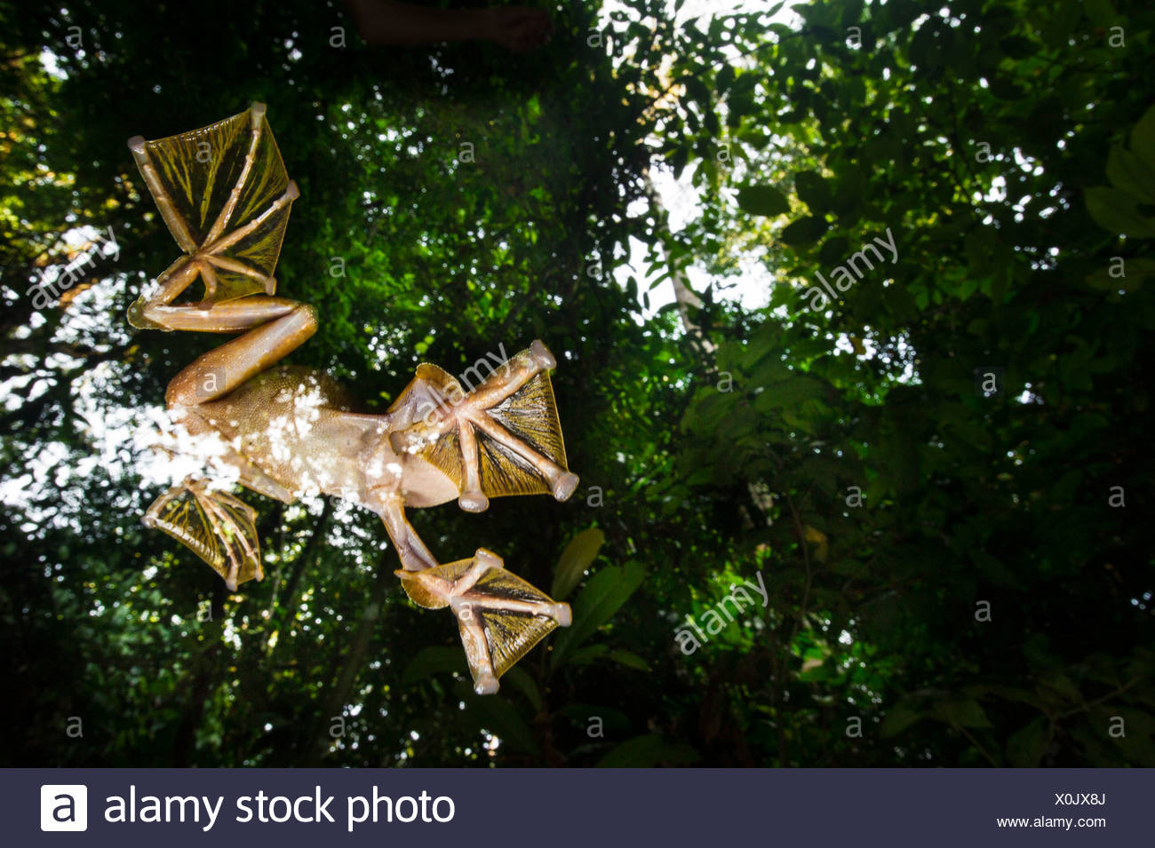 Male Wallace's Flying Frog flying/gliding down to temporary pools on the forest floor, Sabah, Borneo (Rhacophorus nigropalmatus) - Stock Image