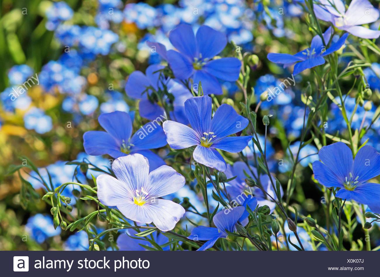 Small blue flowers of perennial flax linum perenne stock photo small blue flowers of perennial flax linum perenne izmirmasajfo