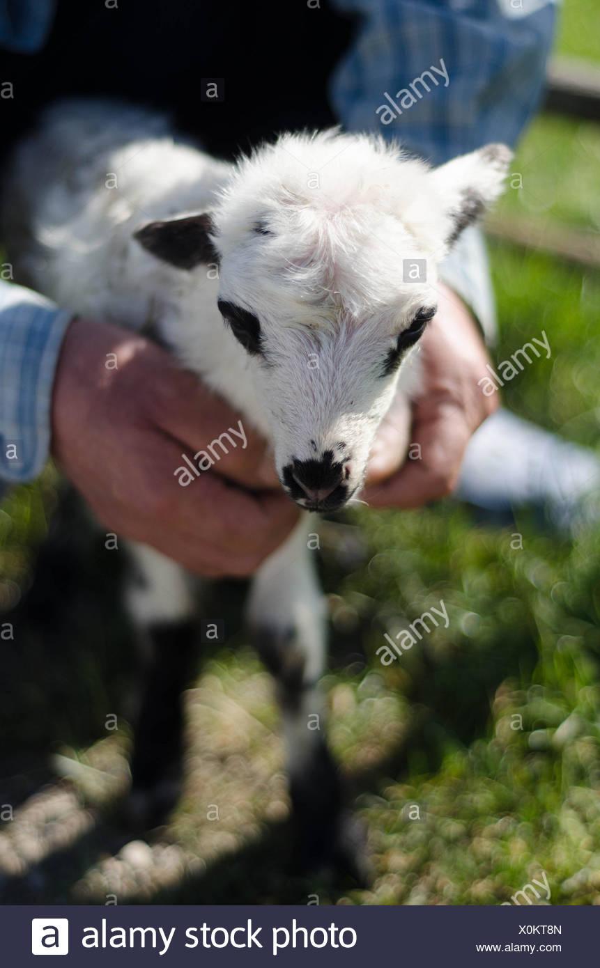 Senior man holding lamb - Stock Image