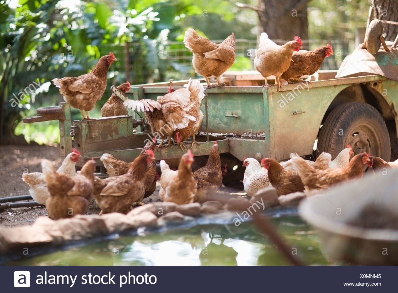 Chickens on truck in barnyard - Stock Image