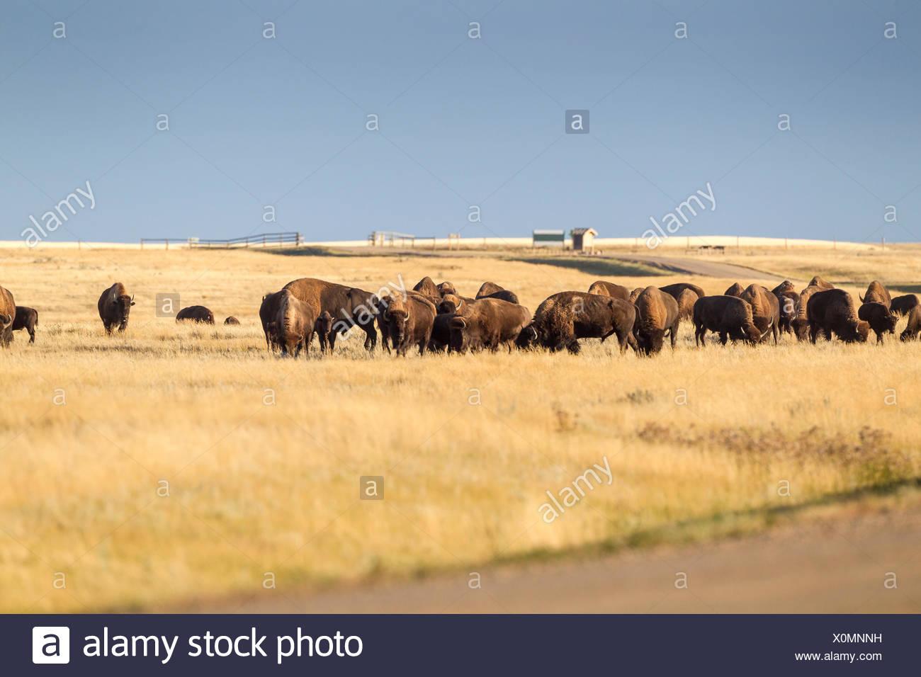 Plains Bison (Bison bison bison) grazing in Grasslands National Park, Saskatchewan, Canada - the Bison roam freely in the park - Stock Image