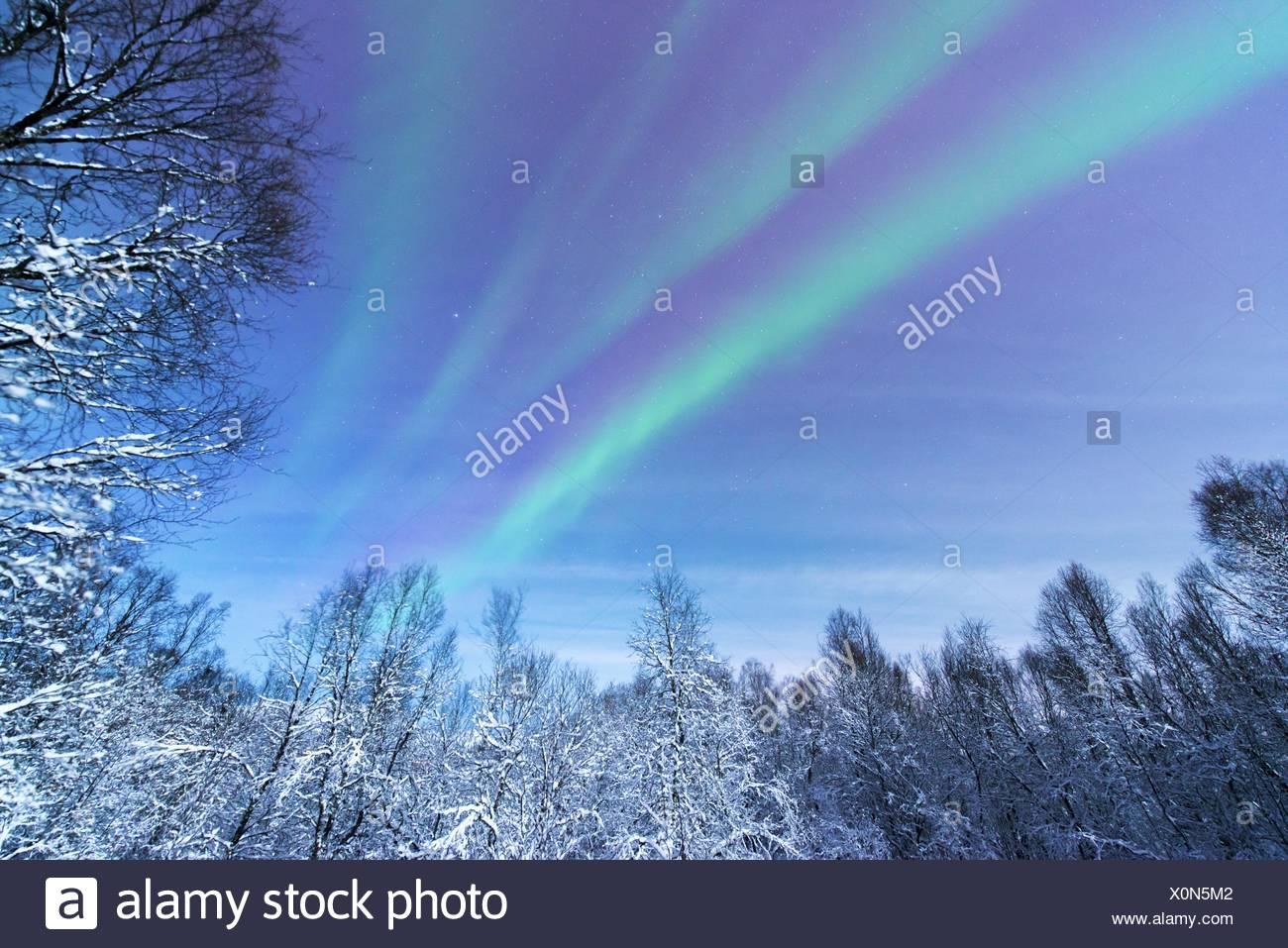 aurora above snowy forest scenery, Norway, Troms, Tromsoe - Stock Image