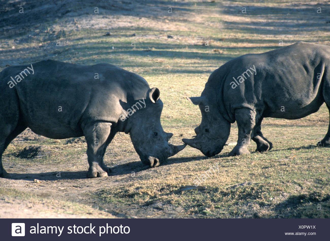 Animal Animals Battle Battles square-lipped rhinoceros Ceratotherium simum Duel Dueling Duels Fight rhinoc - Stock Image