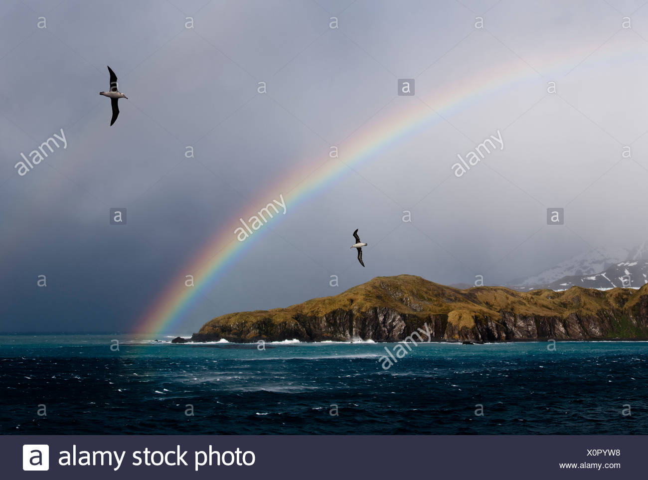 Black-browed Albatross flying off the Bay of Isles, South Atlantic. - Stock Image