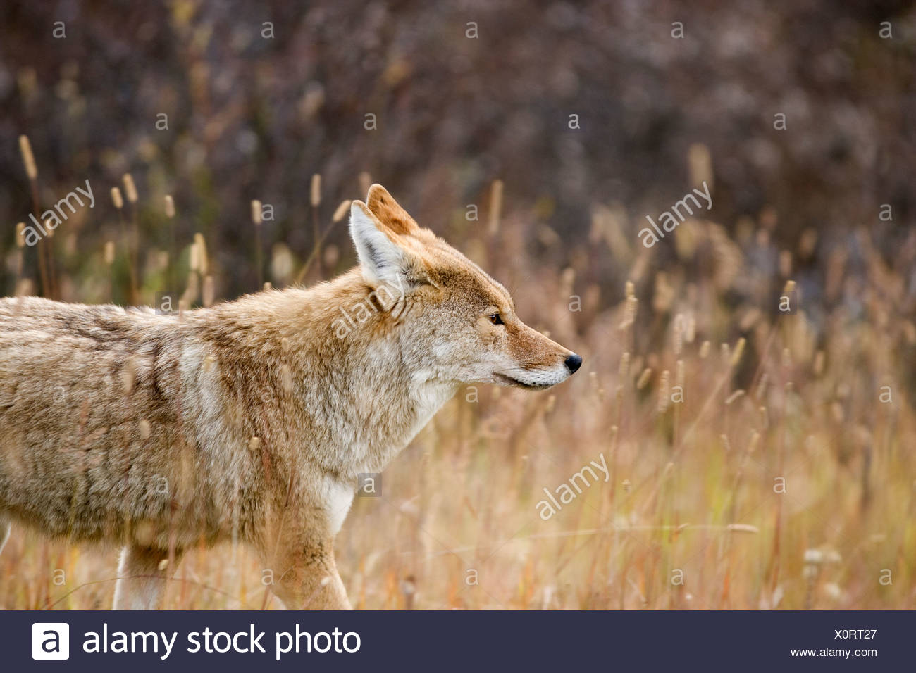A coyote follows a lone elk in Kananaskis Country, Alberta, Canada - Stock Image